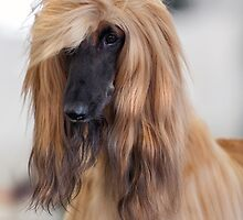 Furry Afghan Hound