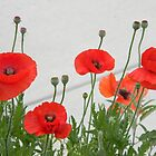 Sidewalk Poppies by Navigator