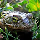 Green Frog by dedakota