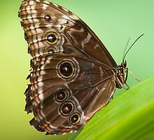 owl butterfly by peterwey