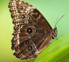 owl butterfly by peterwey