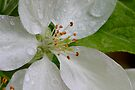 Heart Of A Tiny Apple Blossom by Gene Walls