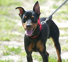 Quiet Dobermann Pinscher