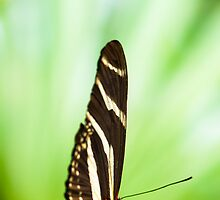 zebra butterfly (lat. heliconius charitonius) by peterwey