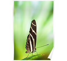 zebra butterfly (lat. heliconius charitonius) Poster