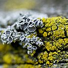 competing lichens by jude walton