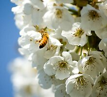 Bee on Blossoms by Appel
