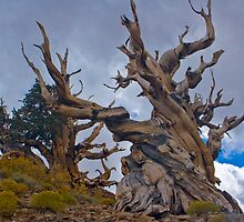 Bristle Cone Pines by photosbyflood