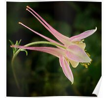 Graceful columbine Poster