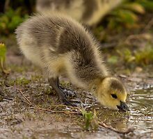 Sippy Puddle by Jay Ryser