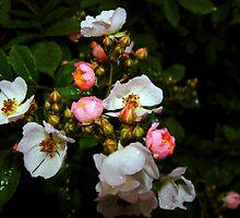My Wild Prairie Roses In The Rain by WildestArt