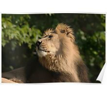 Asiatic Lion Poster