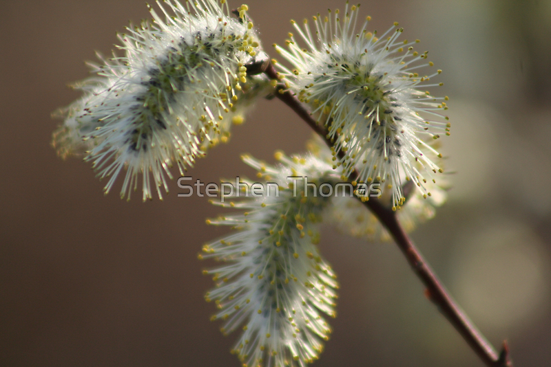 Willow Catkins by Stephen Thomas