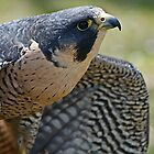 Peregrine Falcon by MNDustyLens