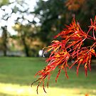 Japanese Maple by Jim DeMore