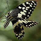 THE CITRUS SWALLOWTAIL- Papillio demodocus by Magaret Meintjes