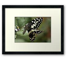THE CITRUS SWALLOWTAIL- Papillio demodocus Framed Print
