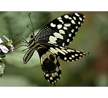 THE CITRUS SWALLOWTAIL- Papillio demodocus Photographic Print