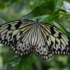 Rice Paper Butterfly 2 by Alyce Taylor