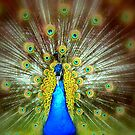 Peacock pomp by i l d i    l a z a r
