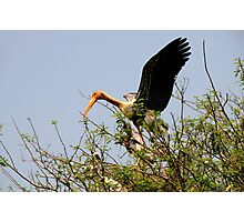 Painted Storks Photographic Print