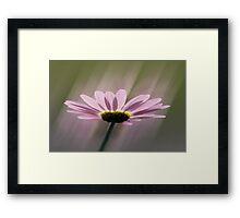 Radiance - Pink Daisy, Glasgow, Scotland, UK, Europe Framed Print