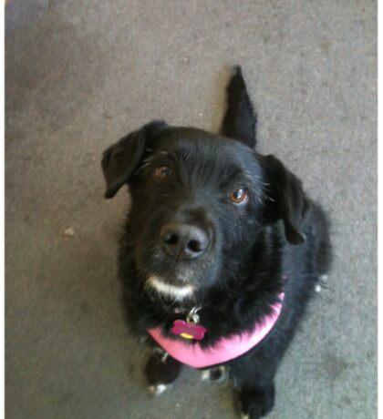Scruffy Black Dog Sticker