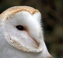 Barn Owl by robspics