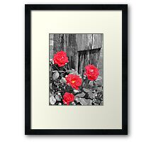 Wild Irish Roses? Framed Print