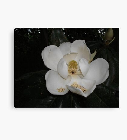 Southern Magnolia - first blossom Canvas Print