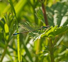 Immature Male Blue-tailed Damselfly by kernuak