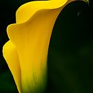 Yellow Calla Lily by Alison Cornford-Matheson