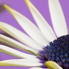 Cape Daisy in purple by Sara Hazeldine