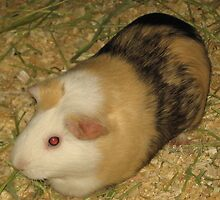 Sally the Roan American Short Haired Guinea Pig by silverdragon