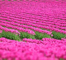 Pink Tulip Sea by genielamb