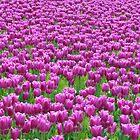 Field of purple by genielamb