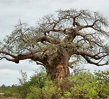HOME FOR MANY - THE BOABAB  – Adonsonia digitata by Magriet Meintjes