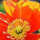 Poppy  by rabeeker
