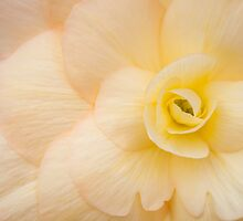 Coloured Begonia by RizzAl