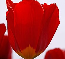 Red Tulip by BigD