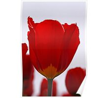 Red Tulip Poster