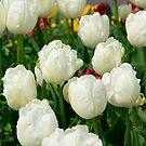 White Tulips by Martina Fagan