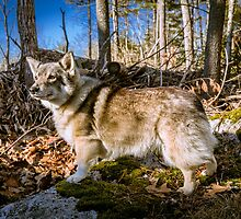 Well-trained Swedish Vallhund by welovethedogs