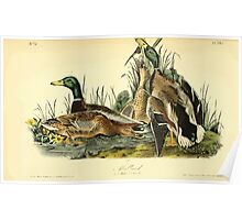James Audubon Vector Rebuild - The Birds of America - From Drawings Made in the United States and Their Territories V 1-7 1840 - Mallard Poster