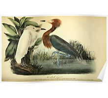 James Audubon Vector Rebuild - The Birds of America - From Drawings Made in the United States and Their Territories V 1-7 1840 - Reddish Egret Poster