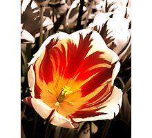 Tiger Tulips Photographic Print