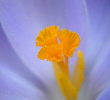 Purple Crocus by Dweezal
