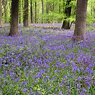Bluebells in early May, Micheldever Woods, Hampshire, southern England (portrait) by Philip Mitchell