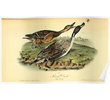 James Audubon Vector Rebuild - The Birds of America - From Drawings Made in the United States and Their Territories V 1-7 1840 - Pintail Duck Poster