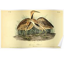 James Audubon Vector Rebuild - The Birds of America - From Drawings Made in the United States and Their Territories V 1-7 1840 - American Bittern Poster